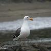 Seagull Pose