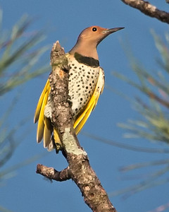 WOODPECKERS / NORTHERN FLICKER