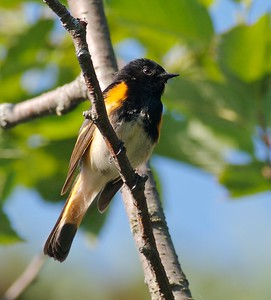 American Redstart [July; Rock Pond, Duluth, Minnesota]