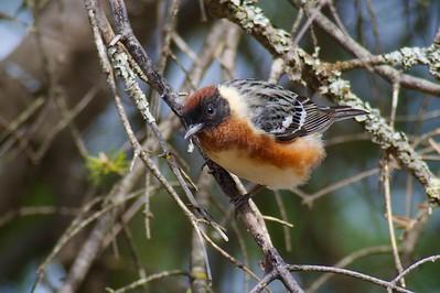 Bay-breasted Warbler Admiral Road Sax-Zim Bog MN IMG_011471