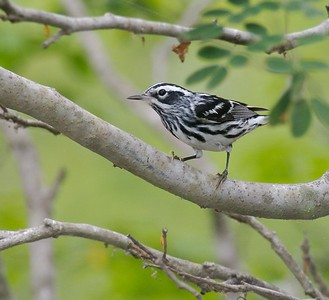 Black and White Warbler[April; Krenmueller Farms, Lower Rio Grande Valley, Texas]