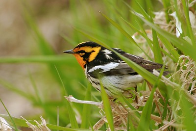 Blackburnian Warblers nest in the boreal forests of the northern U.S. and Canada [May; Mississippi River, Itasca County, Minnesota]