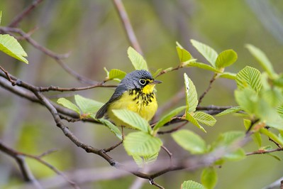 Fog grounds a Canada Warbler on Duluth's Park Point [May; Duluth, Minnesota]
