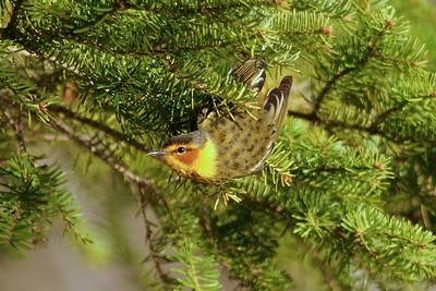 Cape May Warblers are only residents of far northern Minnesota. The rest of the state only sees them in migration [May; Park Point, Duluth, Minnesota]