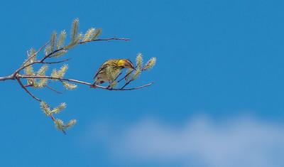 Cape May Warbler warbler wave Moose Lake Sewage Ponds road Carlton County MN  P1066740