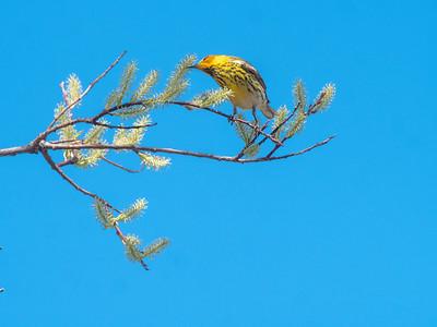 Cape May Warbler warbler wave Moose Lake Sewage Ponds road Carlton County MN  P1066767