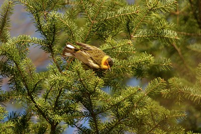 Cape May Warbler, Miss R, MN 166_6674