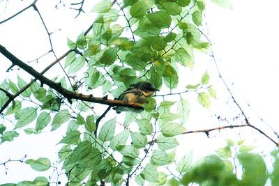 Cerulean Warbler TX 137_3794