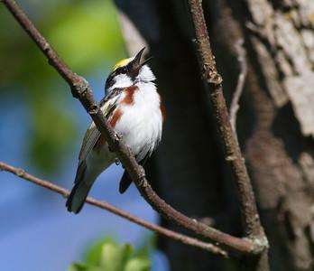 Chestnut-sided Warbler Crex Meadows Grantsburg WI-0193