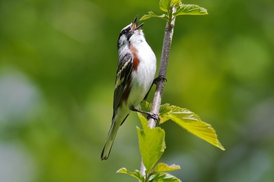 Chestnut-sided Warbler on territory [June 2008, Itasca County, Minnesota]