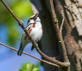 Chestnut-sided Warbler Crex Meadows Grantsburg WI IMG_0193