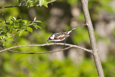 Chestnut-sided Warbler Sax-Zim Bog MN IMG_4852