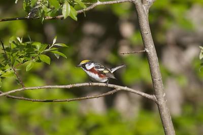 Chestnut-sided Warbler Sax-Zim Bog MN IMG_4859