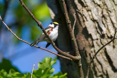 Chestnut-sided Warbler Crex Meadows Grantsburg WI IMG_0190