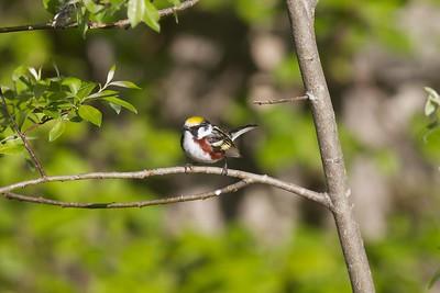 Chestnut-sided Warbler Sax-Zim Bog MN IMG_4860