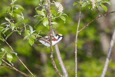 Chestnut-sided Warbler Sax-Zim Bog MN IMG_4862
