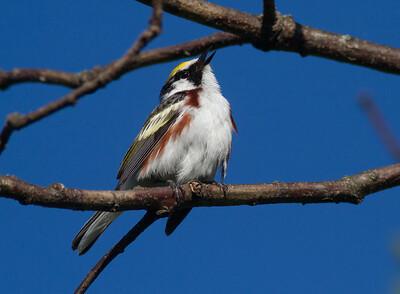 Chestnut-sided Warbler Crex Meadows Grantsburg WI-0196