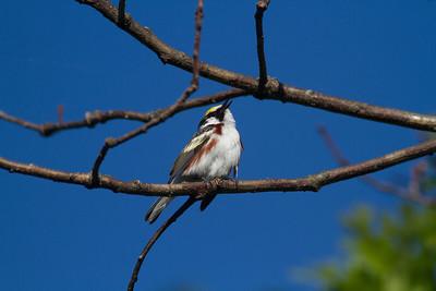 Chestnut-sided Warbler Crex Meadows Grantsburg WI-0195