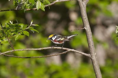 Chestnut-sided Warbler Sax-Zim Bog MN IMG_4855