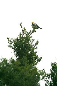 Golden-cheeked Warbler Hill Country TX 143_4357