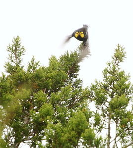 Golden-cheeked Warbler Hill Country TX 143_4369