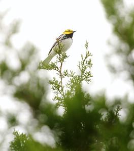 Golden-cheeked Warbler Hill Country TX 143_4363