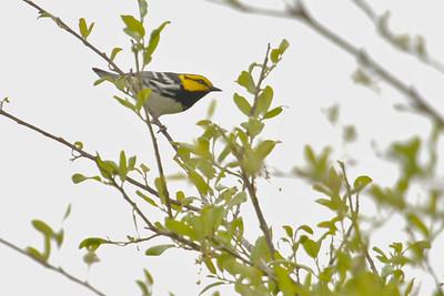 Golden-cheeked Warbler Hill Country, TX 143_4359
