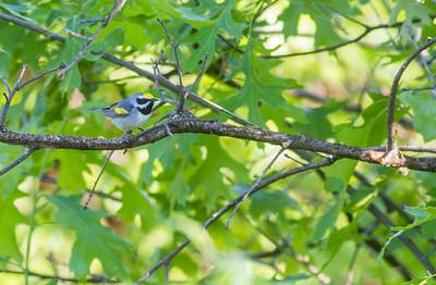 Golden-winged Warbler Crex Meadows Grantsburg WI IMG_0168