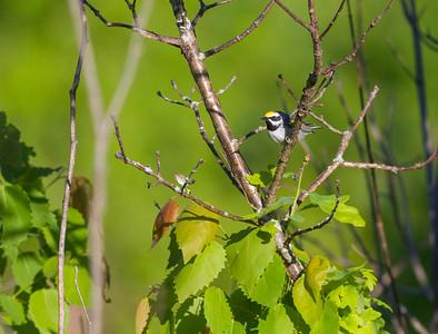 Golden-winged Warbler Crex Meadows Grantsburg WI IMG_0170