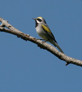 Golden-winged Warbler on territory in logged area [June 2008,  Itasca County, Minnesota]