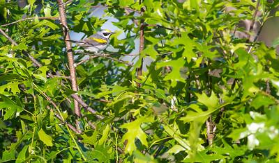 Golden-winged Warbler Crex Meadows Grantsburg WI IMG_0174