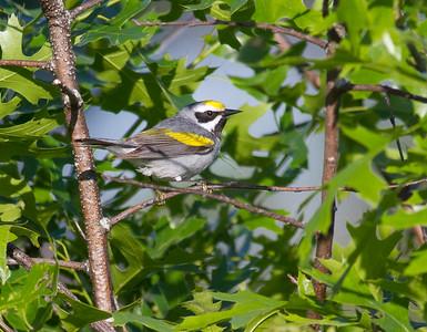 Golden-winged Warbler Crex Meadows Grantsburg WI IMG_0173