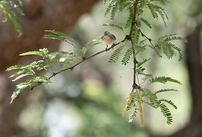 Lucy's Warbler Paton Center for Hummingbirds Patagonia AZ southeast Arizona June 6-12 2019-01410
