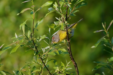 A Nashville Warbler grabs a small caterpillar [June; Fond du Lac State Forest, Carlton County, Minnesota]
