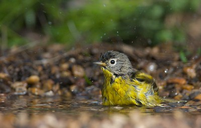 In South Texas a migrating Nashville Warbler grabs a quick bath before continuing on its journey north to the bogs of the North Woods [April; Sick Dog Ranch near Alice, Texas]