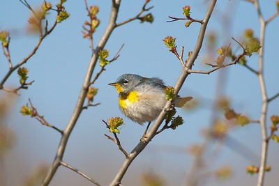 Migrating Northern Parula at eye-level. On the breeding grounds they are rarely seen below the tops of tall spruce trees [May; Indian Point Campground, Duluth, Minnesota]