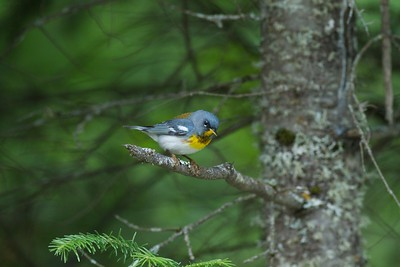Northern Parula St  Louis Co MN IMG_3347