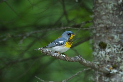 Northern Parula St  Louis Co MN IMG_3340