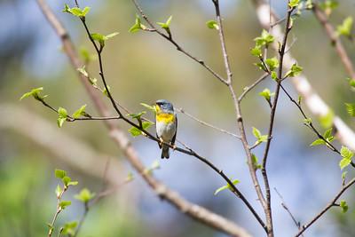 Northern Parula Warbler Wednesday May 23 2018 Sax-Zim Bog MNIMG_0332