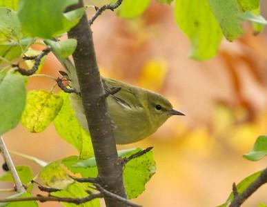 Fall warbler [September; Duluth, Minnesota]