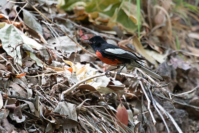 Painted Redstart Cave Creek South Fork Canyon Chiricahua Mountains near Portal southeast Arizona June 6-12 2019-00615