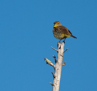 Palm Warbler Gray Jay Way Welcome Center Owl Avenue Sax-Zim Bog MN IMG_2189