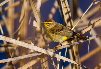 Palm Warbler Kimmes-Tobin Wetlands Douglas County WIIMG_7761