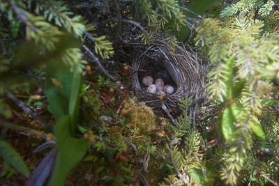 Palm Warbler nest with eggs Ditchbanks Fond du Lac SF Carlton Co MN IMG_9597