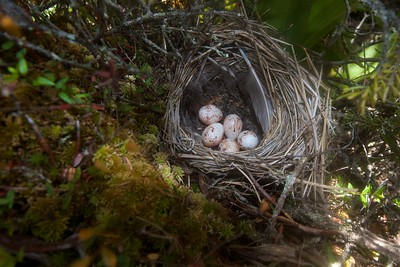 Palm Warbler nest with eggs Ditchbanks Fond du Lac SF Carlton Co MN IMG_9595