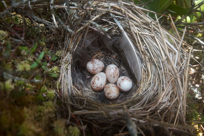 Palm Warbler nest with eggs Ditchbanks Fond du Lac SF Carlton Co MN IMG_9590