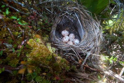 Palm Warbler nest with eggs Ditchbanks Fond du Lac SF Carlton Co MN IMG_9596