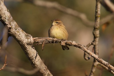 Palm Warbler Blackhoof WMA Carlton Co MN IMG_3209