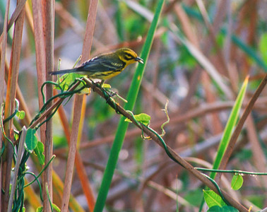 Prairie Warbler Florida bird SLIDE SCAN 9