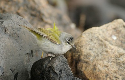 Fog grounds a Tennessee Warbler on Duluth's Park Point [May; Duluth, Minnesota]